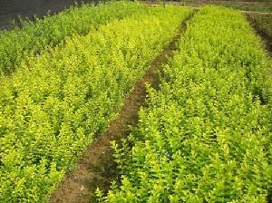 淄博造林小苗,青枫,红枫,红叶石楠,紫薇,桂花,茶花