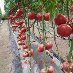 吐鲁番大红西红柿苗 齐达利西红柿苗批发