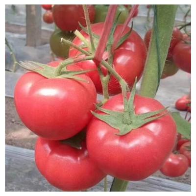 松原西红柿育苗厂 大粉果西红柿种苗批发