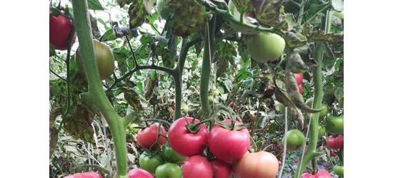 高淳300g粉果西红柿苗 抗死棵西红柿育苗厂